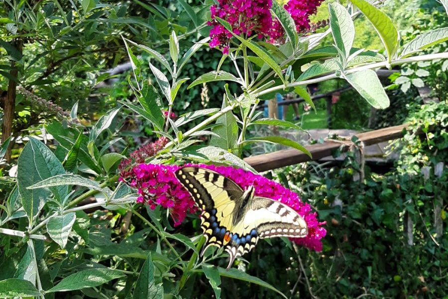 Privucite leptire u vrt